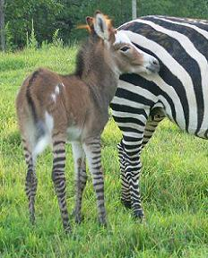 BB's Hidden Acres - Grants Zebras and Miniature Donkeys For Sale