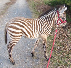 West-central Wisconsin breeder of Grants Zebras - bucket or mother-raised young stock and some adults available. We also raise registered miniature donkeys of good bloodlines. Zebras and donkeys for sale .